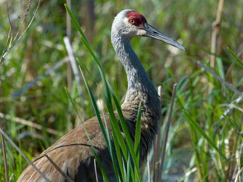 Crane, Sandhill
