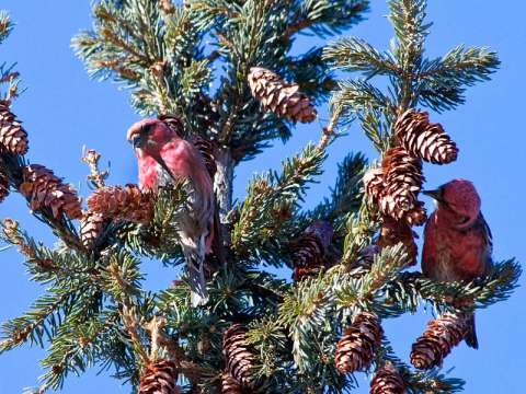 Crossbill, Red