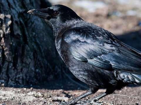 Crow, American***