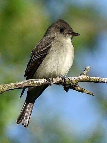 Flycatcher, Olive-sided