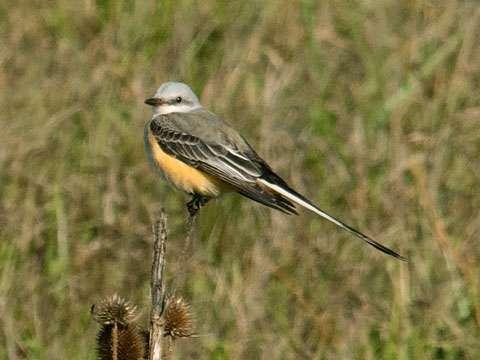 Flycatcher, Scissor-tailed