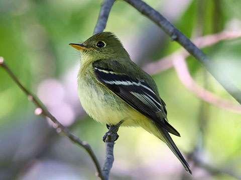 Flycatcher, Yellow-bellied