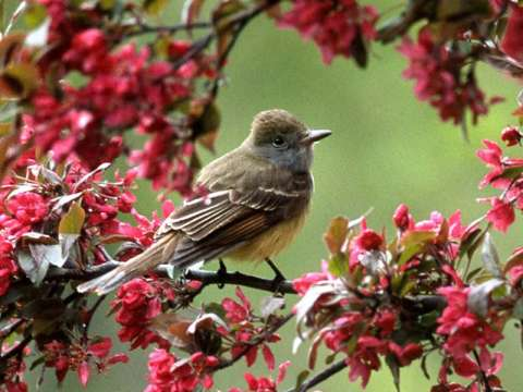Flycatcher, Great Crested