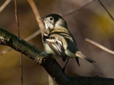 Flycatcher, Least
