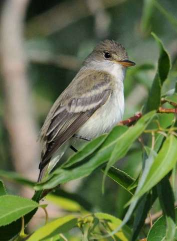 Flycatcher, Willow
