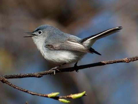 Gnatcatcher, Blue-gray