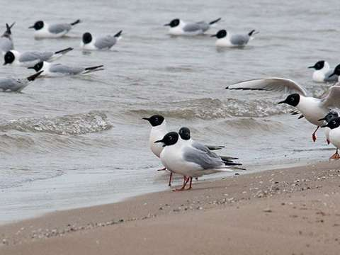 Gull, Bonapate's