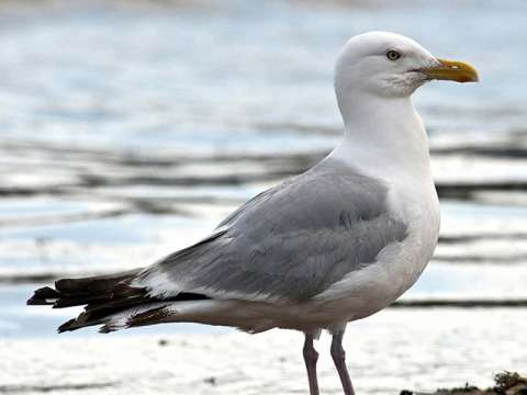 Gull, Herring