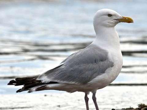 Gull, Herring