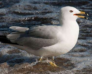 Gull, Ring-billed