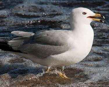 Gull, Ring-billed