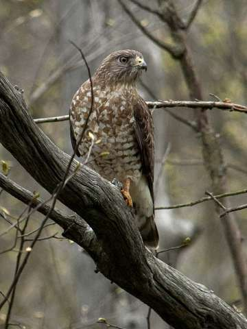 Hawk, Broad-winged*