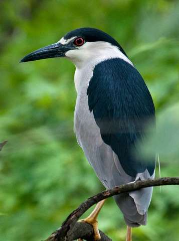 Heron, Black-crowned Night***