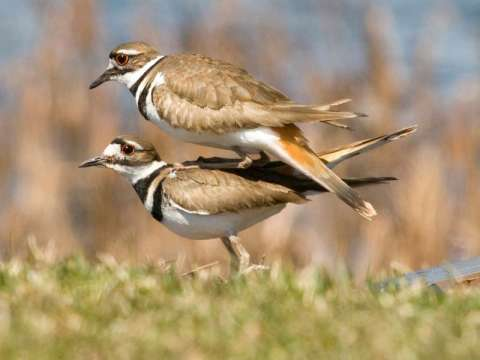 Killdeer***