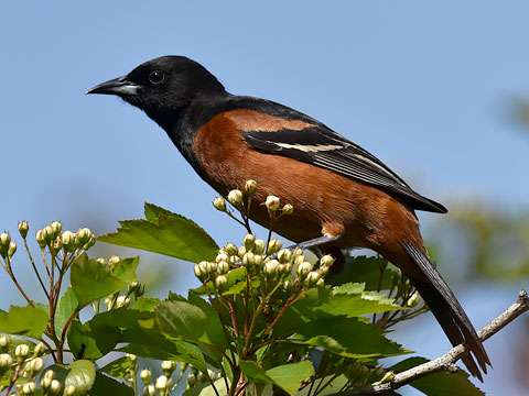 Oriole, Orchard