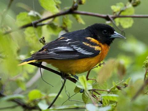 Oriole, Northern
