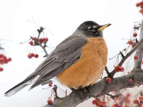 Robin, American