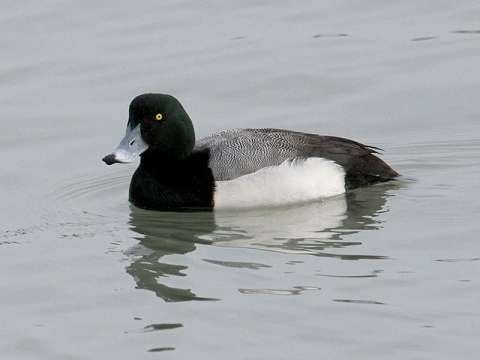 Scaup, Greater