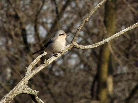 Shrike, Northern