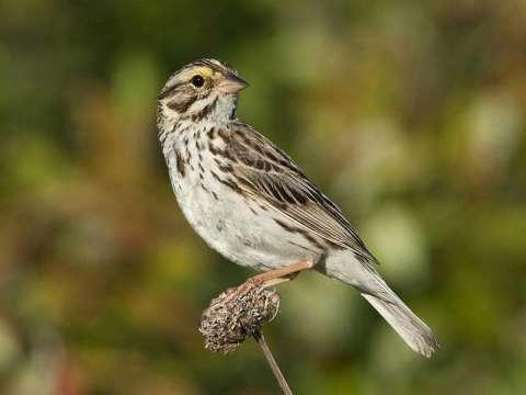 Sparrow, Savannah*