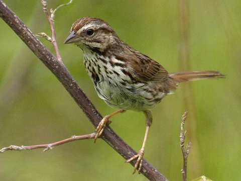 Sparrow, Song