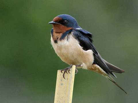 Swallow, Barn