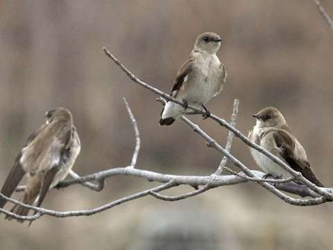 Swallow, N. Rough-winged