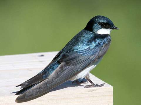 Swallow, Tree