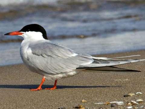 Tern, Common Tern