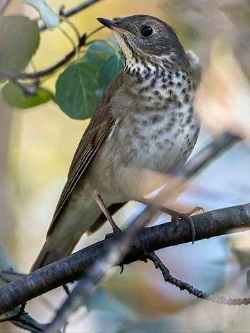 Thrush, Gray-cheecked