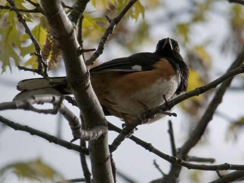 Towhee, Rufous-sided