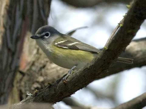 Vireo, Solitary