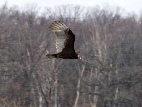 Vulture, Turkey