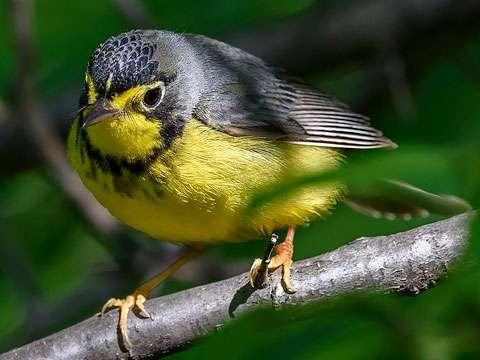 Warbler, Canada