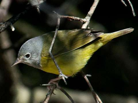 Warbler, Connecticut