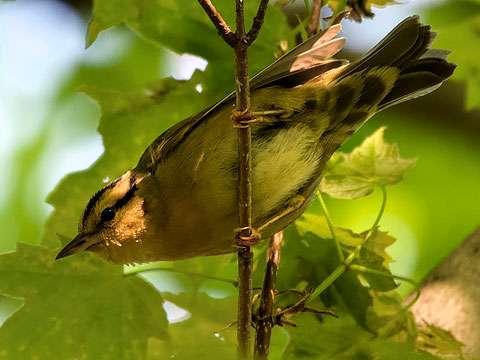 Warbler, Worm-eating