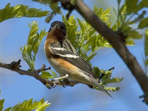 Warbler, Bay-breasted