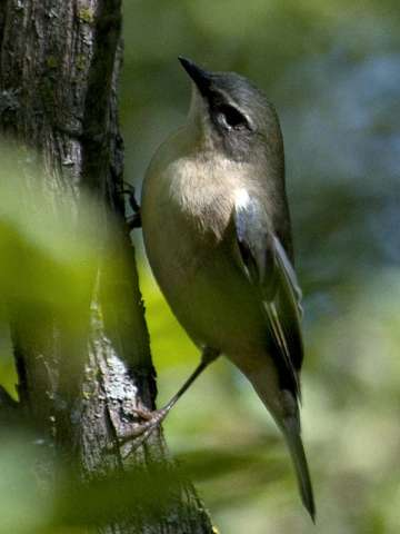 Warbler, Black-throated Blue