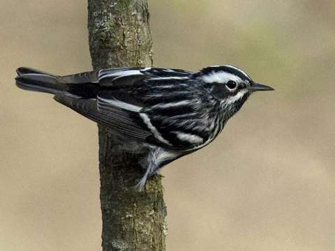 Warbler, Black-and-white