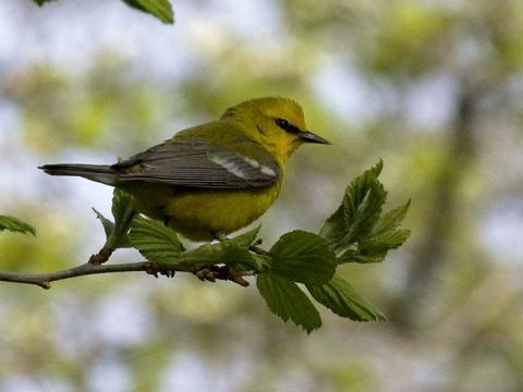 Warbler, Blue-winged