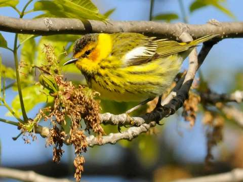 Warbler, Cape May