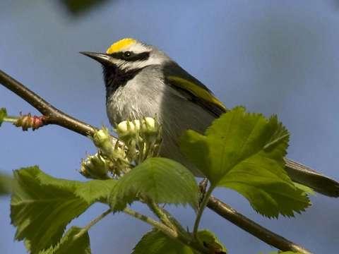 Warbler, Golden-winged