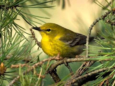 Warbler, Pine