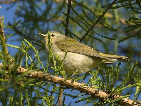 Warbler, Tennessee