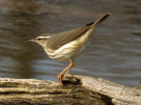 Waterthrush, Louisiana