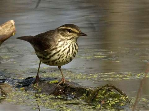 Waterthrush, Northern