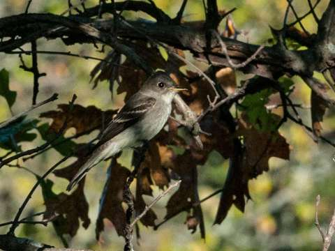 Wood-Pewee, Eastern
