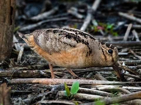 Woodcock, American