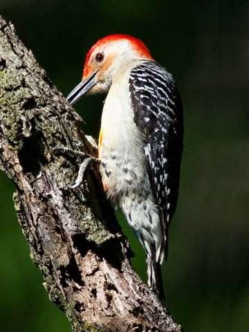 Woodpecker, Red-bellied
