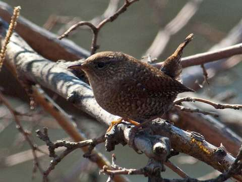 Wren, Winter
